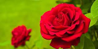 Trisomy 18 Trisomy 13 Red Rose